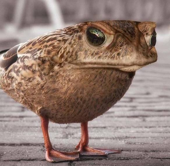 Sapo Pato
