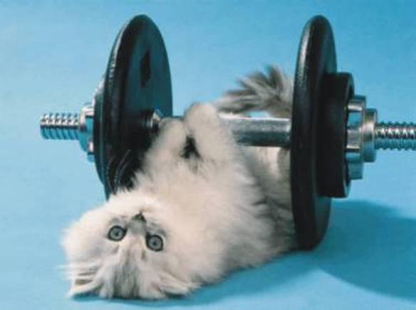 Gato Fisiculturista