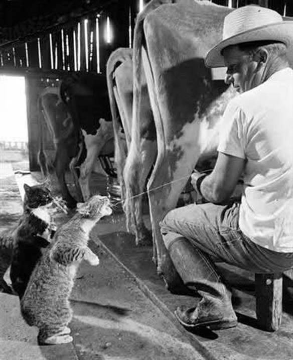 Direto da Vaca