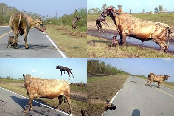 Vaca Lutadora